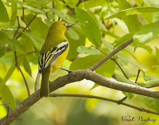 蓝翅叶鹎_黑翅雀鹎的外形特征、地理分布、生活习性、保护现状_鸟类_百问 ...