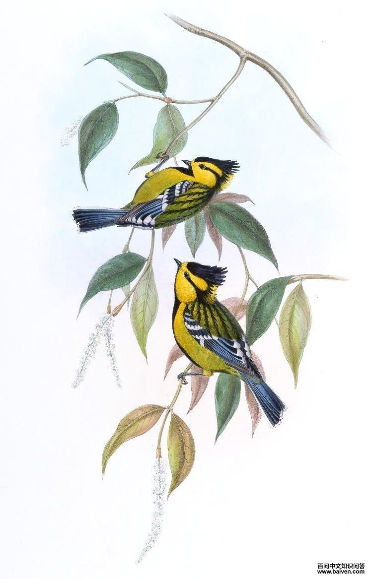 黄颊山雀叫声_黄颊山雀的外形特征、生活习性、生长繁殖、亚种分化、地理 ...